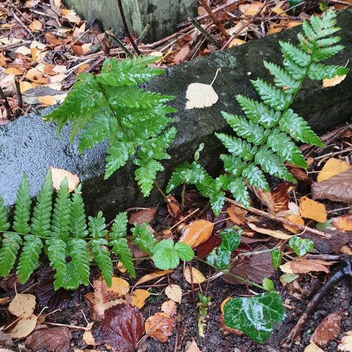 The starchy rhizomes of Bracken, our most abundant fern, are edible and can be dried and stored.