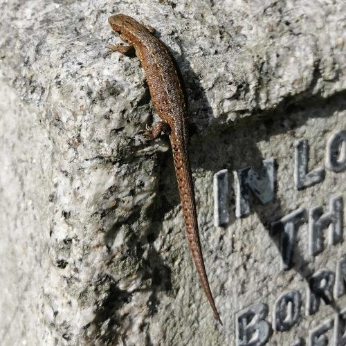 The common lizard is a speedy carnivore, subsisting on insects, arachnids, and other invertebrates.
