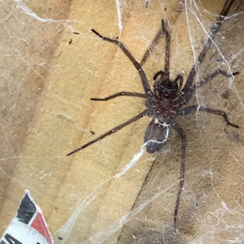 The Black Lace-weaver Spider is a nocturnal spider with a black body with white markings.