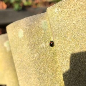 The elytra (wing cases) of this abundant ladybird may be black with red spots or red with black spots.
