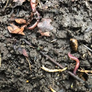 The Black-headed Worm is anecic so makes vertical burrows.  Its pinky-red body is very dark,.