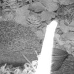 A hedgehog captured in a trail camera at night