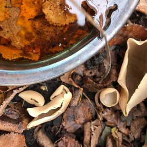 The irregularly ear-shaped Hare's Ear cup fungus is attached by a short white stalk, and is of an ochraceous colour.