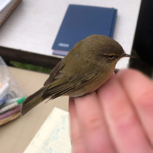 This Chiffchaff is about to be released, having been ringed in Heene Cemetery on March 15th 2021.