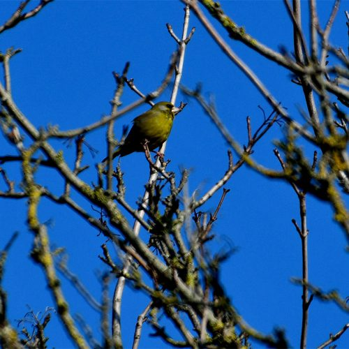 The stout bill of the Greenfinch reveals its preference for large seeds, such as rose hips and cereal grains.