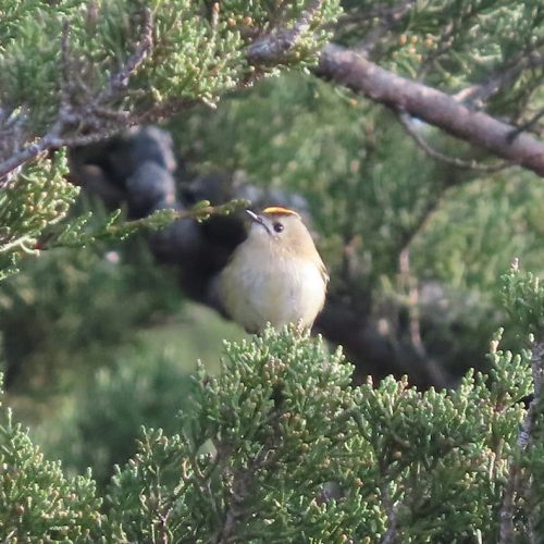 You are most likely to hear Goldcrests in the Cypress trees in the cemetery, as attested to in the photograph here.