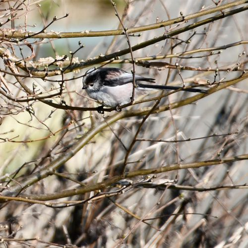 Long-tailed Tits are resident breeders, and with 380,000 pairs counted in 2016 their conservation status is GREEN.