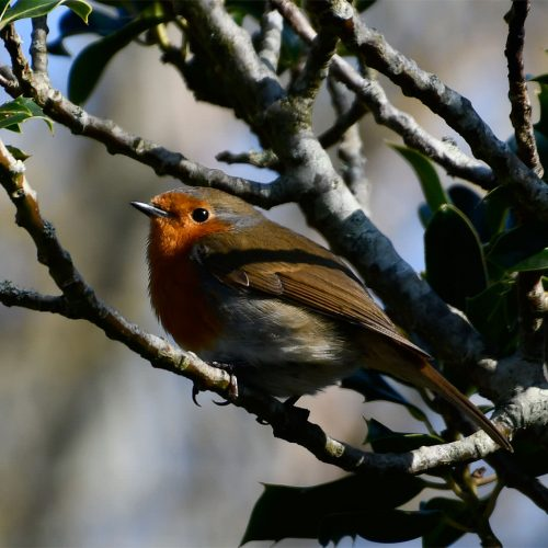 Our spade-perching, unofficial national bird, the Robin, is a resident breeder and Winter visitor from Africa.