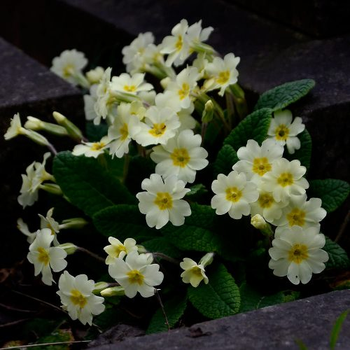 The March flowering of our native primroses is a welcome sight in the countryside.