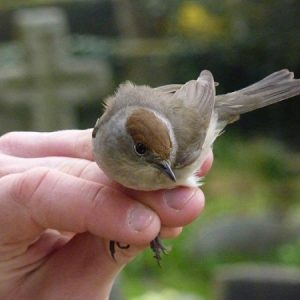 The Blackcap's delightful fluting song has earned it the name 'northern nightingale'.
