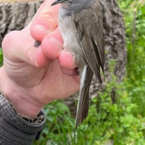 The Blackcap is a grey warbler, easily identified by its distinctive cap.