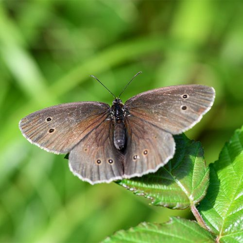 The dark velvety-winged Ringlet butterfly, with its eye-spot markings, is a common sight from June until August.