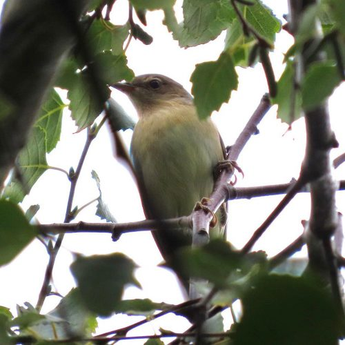 The Garden Warbler has rather featureless plumage. It prefers to spend time in deep cover in trees and bushes.